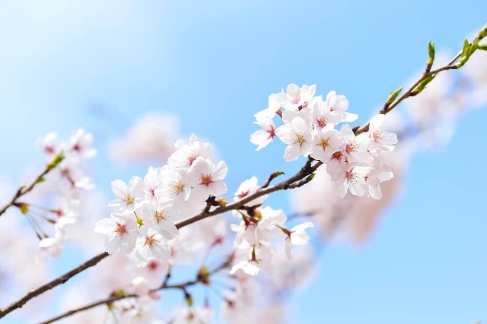 Kirschblüte als Symbol für Frühling
